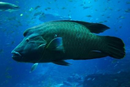 Napoleon Fisch vor der Küste von Singapur