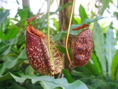 Rote Nephentes (Kannenpflanzen) in Singapur