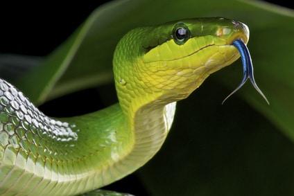 Die grüne Erdnatter findet man noch in den Wäldern von Singapur