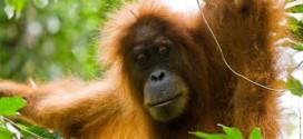 Orang Utans findet man in Singapur nur noch im Zoo
