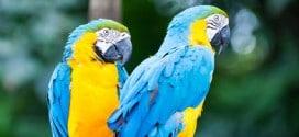 Zwei blau-gelbe Aras im Jurong Bird Park von Singapur